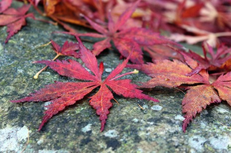 japanese-maple-2872245_1920